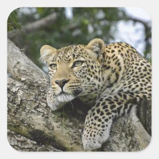 Adesivo Quadrado Gato selvagem animal do safari de África da árvore