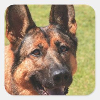 Adesivo Quadrado German shepherd de Malinois do belga