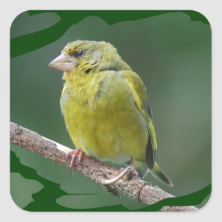 Adesivo Quadrado Green Finch - tentilhão de verde Verdier