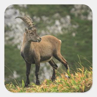 Adesivo Quadrado Íbex selvagem alpino, da cabra, ou steinbock