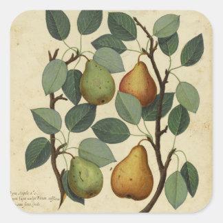 Adesivo Quadrado Impressão botânico da pera da fruta do vintage