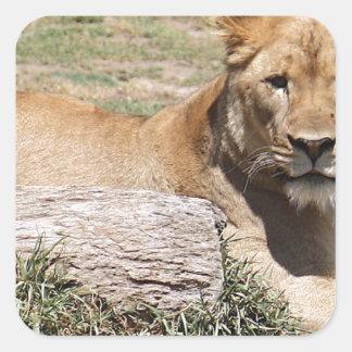 Adesivo Quadrado Leão