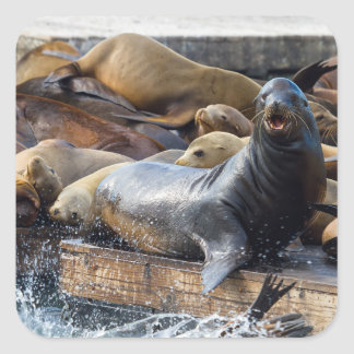 Adesivo Quadrado Leões de mar na doca de flutuação em San Francisco