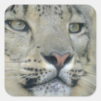 Adesivo Quadrado leopardo de neve