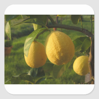 Adesivo Quadrado Limões amarelos que crescem na árvore no por do