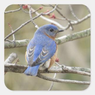 Adesivo Quadrado Parte traseira do Bluebird
