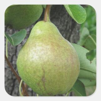 Adesivo Quadrado Peras verdes que penduram em uma árvore de pera