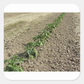 Adesivo Quadrado Plantas frescas da manjericão que crescem no campo