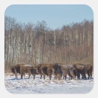Adesivo Quadrado Rebanho do bisonte