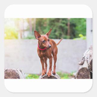 Adesivo Quadrado Retrato do cão vermelho do pinscher diminuto
