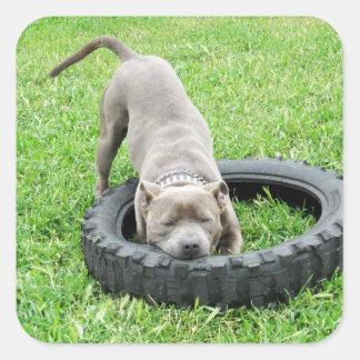 Adesivo Quadrado Staffordshire bull terrier, um Chomp,