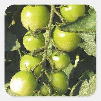 Adesivo Quadrado Tomates verdes que penduram na planta no jardim