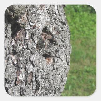 Adesivo Quadrado Tronco de árvore da pera contra o fundo verde
