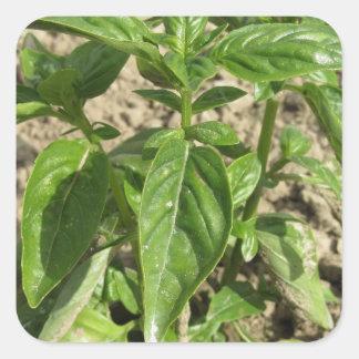 Adesivo Quadrado Única planta fresca da manjericão que cresce no