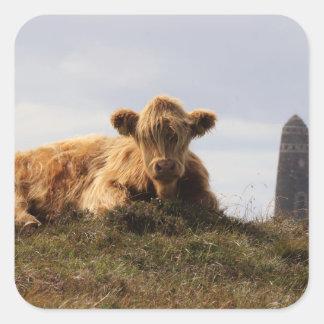 Adesivo Quadrado Vaca de Luing na ilha de Islay, Scotland