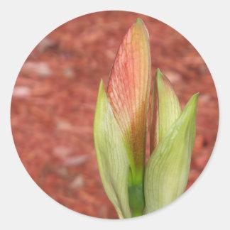 Adesivo Redondo 102a o Amaryllis Apple floresce botão