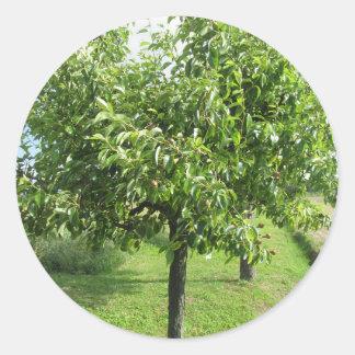Adesivo Redondo Árvore de pera com folhas do verde e frutas