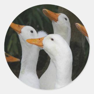 Adesivo Redondo O branco Ducks a foto