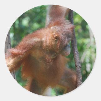 Adesivo Redondo Orangotango do grande macaco