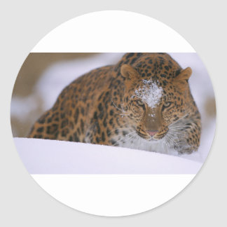 Adesivo Redondo Pares raros de um leopardo de Amur sobre uma
