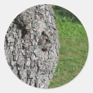 Adesivo Redondo Tronco de árvore da pera contra o fundo verde