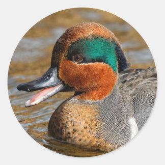 Adesivo Redondo Um pato Verde-Voado Chatty da cerceta na lagoa