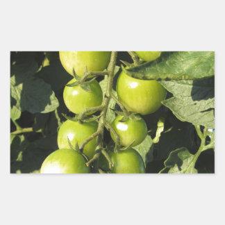 Adesivo Retangular Tomates verdes que penduram na planta no jardim
