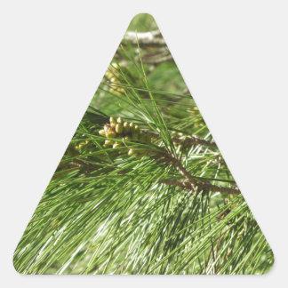 Adesivo Triangular Cones imaturos do homem ou do pólen do pinheiro