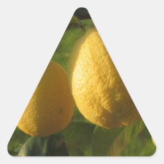 Adesivo Triangular Limões amarelos que crescem na árvore no por do