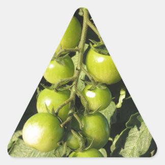Adesivo Triangular Tomates verdes que penduram na planta no jardim