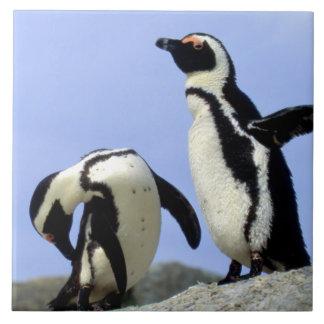 África do Sul, cidade de Simons. Pinguins de
