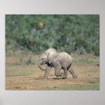 África do Sul, parque nacional do elefante de Addo Poster