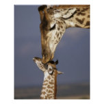 África, Kenya, Masai Mara. Girafas (girafa Posters