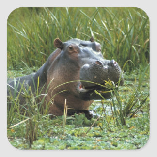 África, Kenya, Masai Mara NR. Um hipopótamo da mãe Adesivo Quadrado