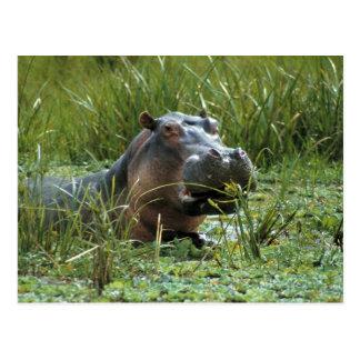 África, Kenya, Masai Mara NR. Um hipopótamo da mãe Cartão Postal