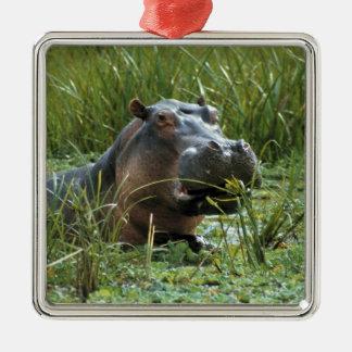 África, Kenya, Masai Mara NR. Um hipopótamo da mãe Ornamento Quadrado Cor Prata