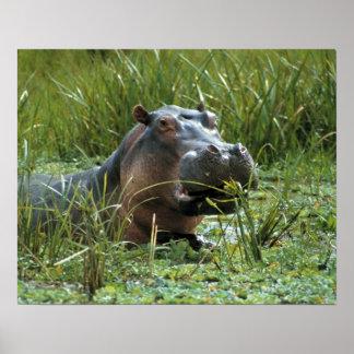 África, Kenya, Masai Mara NR. Um hipopótamo da mãe Poster