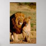 África, Namíbia, Okonjima. Leão & leoa Poster