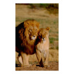 África, Namíbia, Okonjima. Leão & leoa Posters