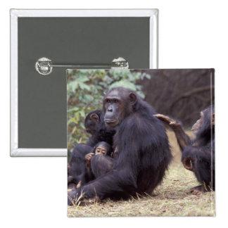 África, Tanzânia, fêmea infantil de Gombe NP Botons