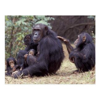 África, Tanzânia, fêmea infantil de Gombe NP Cartão Postal