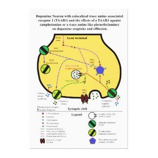 Agonista TAAR1 no Reuptake e no Effluxion da dopam
