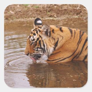 Água drnking real do tigre de Bengal na selva Adesivo Quadrado