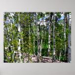 Aguarela das árvores de vidoeiro nas canvas 24x18 impressão