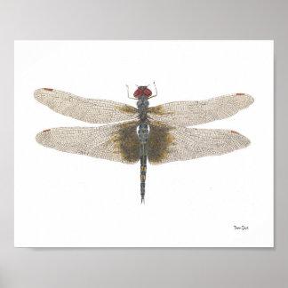Aguarela preta masculina da libélula dos Saddlebag Pôster