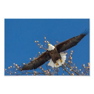 Águia americana acima impressão de foto