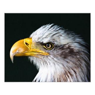 Águia americana americana impressão de foto