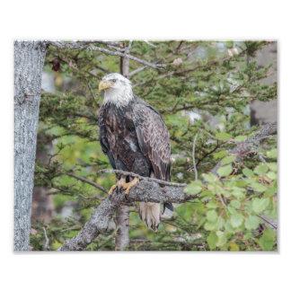 Águia americana americana que senta-se em uma impressão de foto