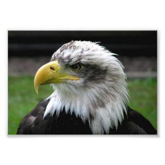 Águia americana impressão fotográficas