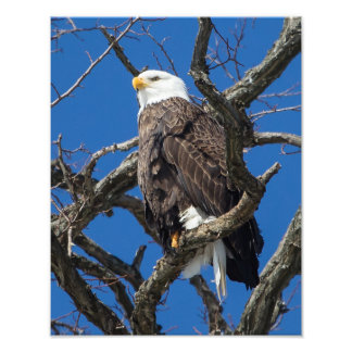 Águia americana impressão de fotos